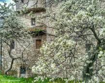 il susino del parroco. primavera 2013.
