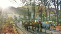transumanze in occasione della fiera dei cavalli. autunno 2014.