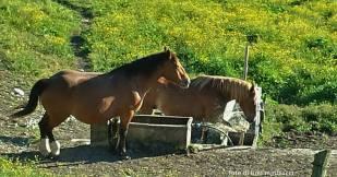 monte petrano. cavalli ai fontanili.
